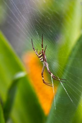 Golden Orb weaving spider - royal botanical gardens