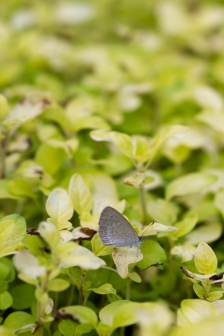 Common grass blue - royal botanical gardens