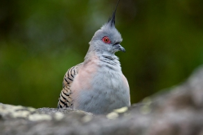 crested Pigeon - Manly