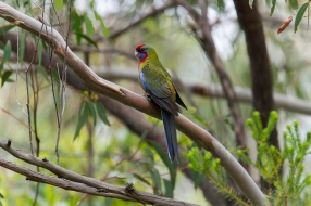 Crimson Rosella - Waterfall