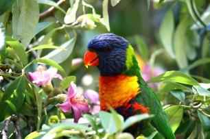 Rainbow Larikeet - royal botanical gardens