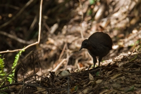 Superb Lyrabird