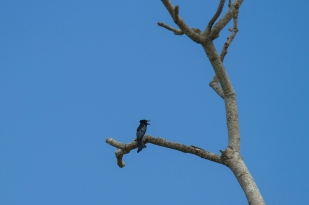 Crow-billed Drongo
