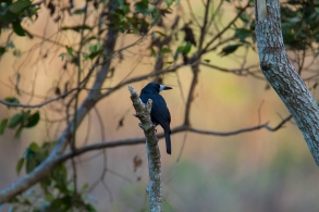 Black Butcherbird