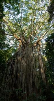 curtain fig tree, Atherton Tablelands
