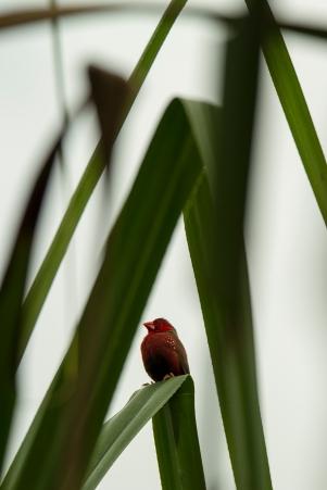 Crimson Finch, Tyto Wetlands