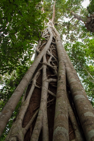 Strangler Fig tree, Atherton Tablelands