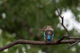 Blue Winged Kookaburra, Alligator Creek