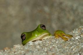 Tree Frog, Bowen