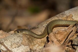 snake at Airlie beach