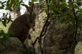 allied rock wallaby