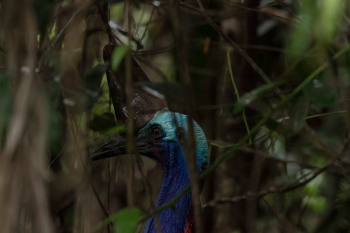 Cassowary, Mission Beach