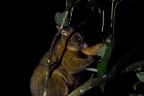 Coppery Brush-tail Possum