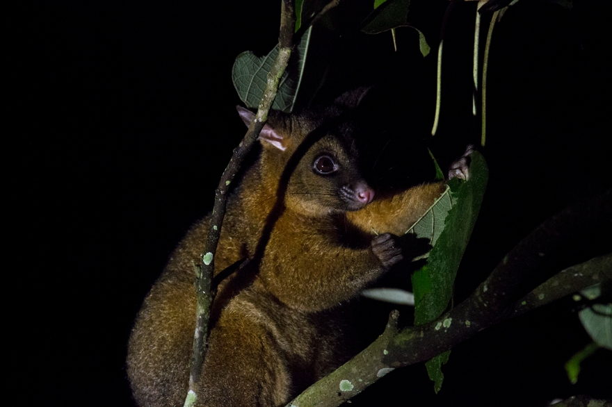 Coppery Brush-tail Possum
