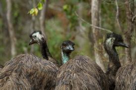 Emu, Mareeba Wetlands