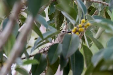 bird unknown, Mareeba Wetlands