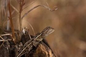 lizard spec, Mareeba Wetlands