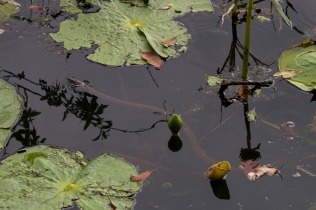Snake in the water, Atherton Tablelands