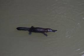 Platypus, Atherton Tablelands