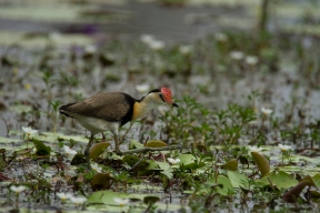 Comb-crested Jacana, Tyto Wetlands