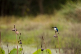 Forest Kingfisher, Tyto Wetlands