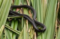 tree Snake, Tyto Wetlands