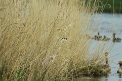 Grey Heron, Oostwaardersplassen (NL)