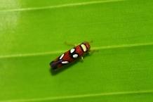 Leaf Hopper, Honduras