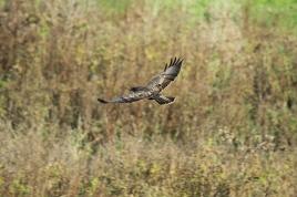 Common Buzzard, Netherlands