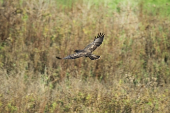 Common Buzzard, Netherlands