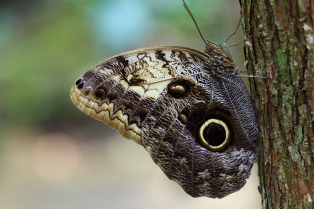 Owl Butterfly, Costa Rica