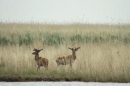 Red Deer, Oostvaardersplassen (NL)