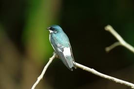 Mangrove Swallow, Costa Rica
