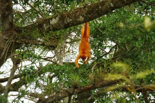 Albino Howler Monkey, Caño Negro, Costa Rica