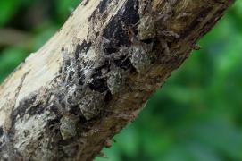 Long-Nosed Bat, Costa Rica