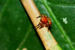 jumping spider, Honduras