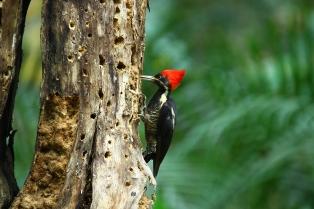 Lineated Woodpecker, Honduras