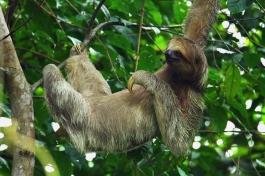 Three-toad Sloth, Costa Rica