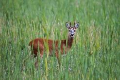 European Roe Deer, Lauwersoog (NL)