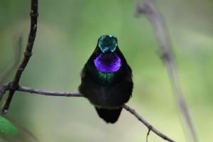 Purple-throated Mountain Gem, Monteverde, Costa Rica