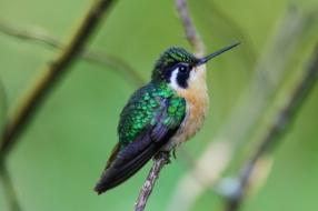 Stripe-throated Hermit, Monteverde, Costa Rica