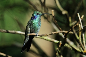 Green Violetear, Monteverde, Costa Rica