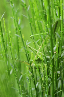 Great Green Bush-Cricket, Oss
