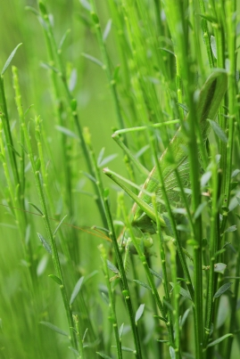 Great Green Bush-Cricket, Oss