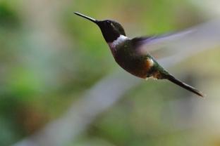 Magenta-trhoated Woodstar, Monteverde, Costa Rica