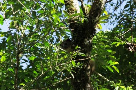 Kinkajou, Monteverde, Costa Rica