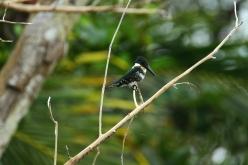 Gren Kingfisher, Cahuita, Costa Rica