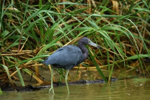 Little Blue Heron, Caño Negro, Costa Rica