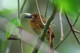 White-whiskered Puffbird, Cahuita, Costa Rica