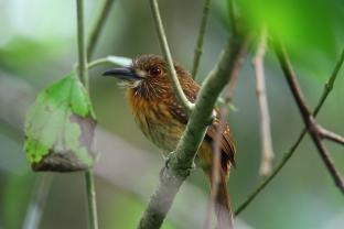 White-whiskered Puffbird, Cahuita, Costa Rica